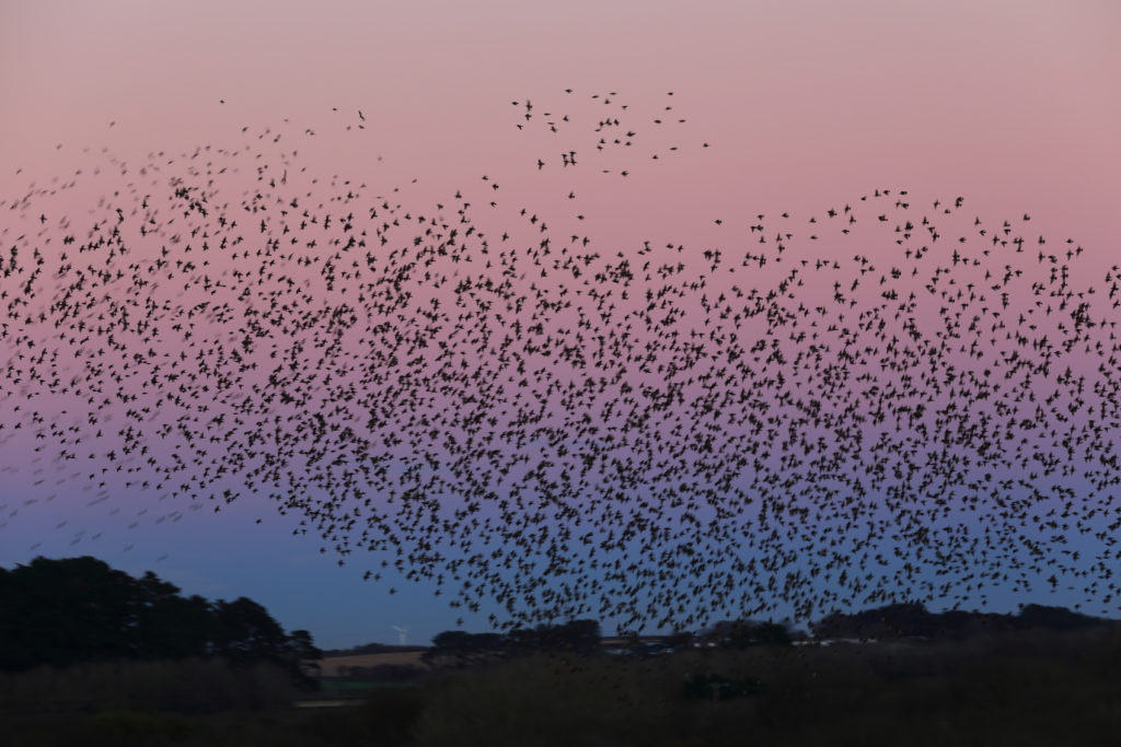 Starling Murmuration Over Marazion Marsh RSPB At Sunset, Cornwall, England, UK.