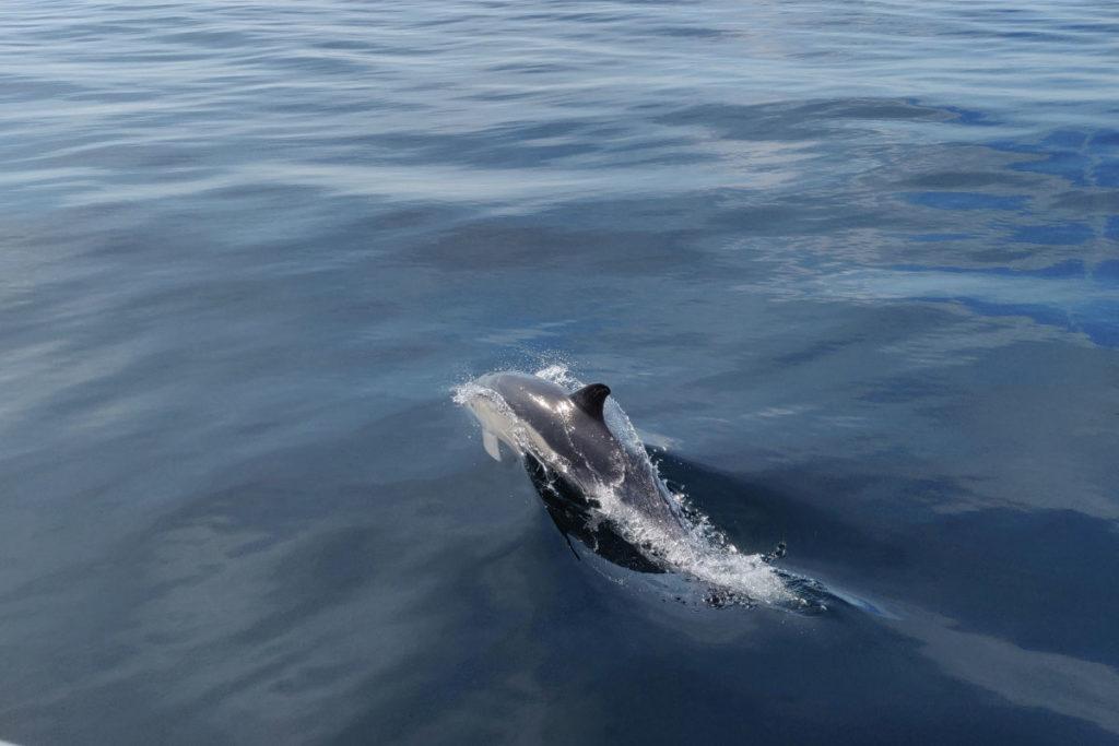 Dolphin Cornwall
