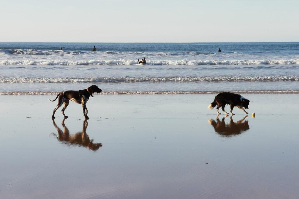 Dogs on beach, Cornwall