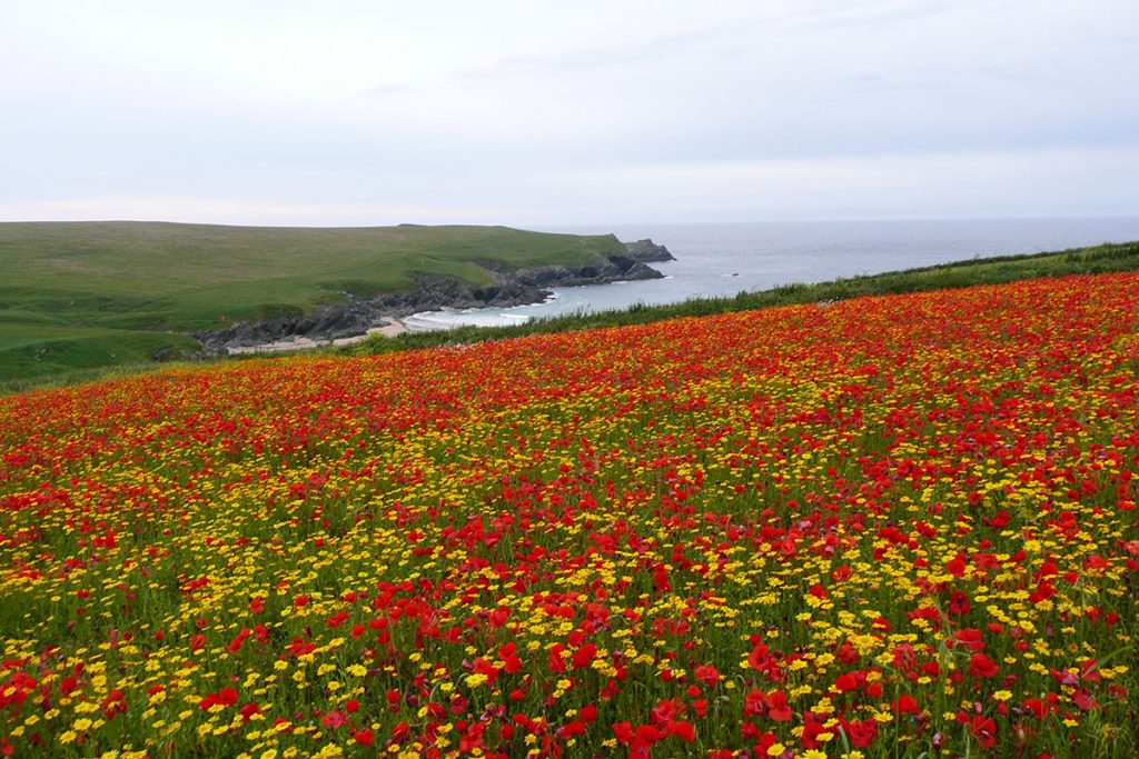 Crantock Poppies Cornwall