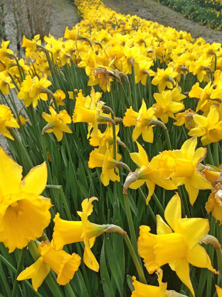 Forever Cornwall Eden Daffodils