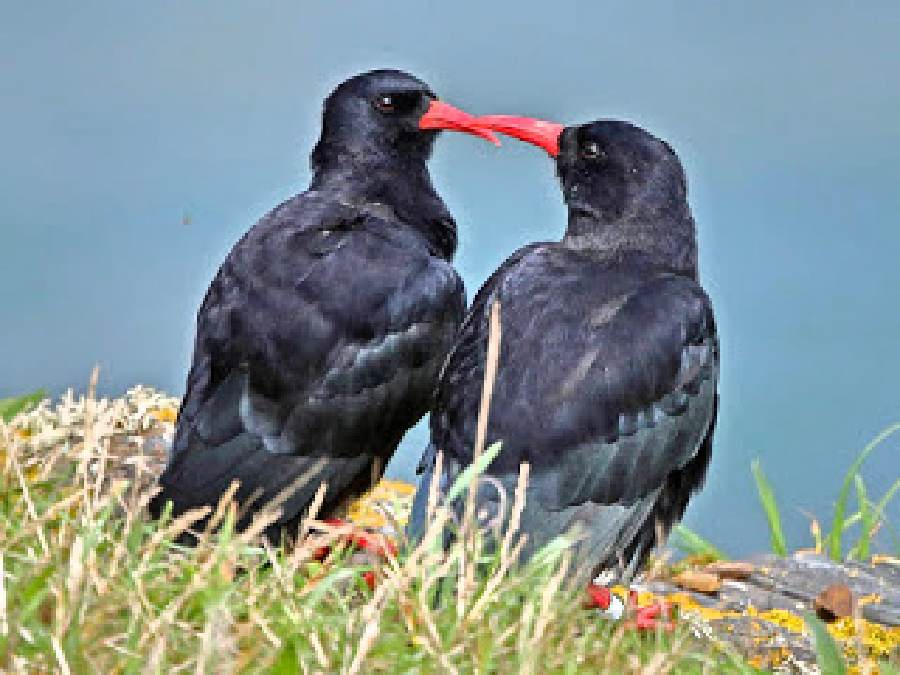 Forever Cornwall NT Choughs