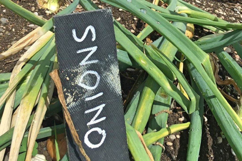 Forever Cornwall Penrose Walled Garden Onions Fotorsized