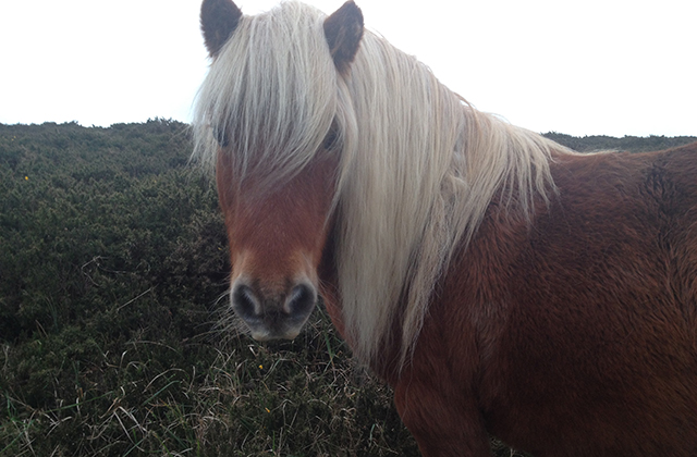 Forever-Cornwall_Pony_Navox-Point_Godrevy