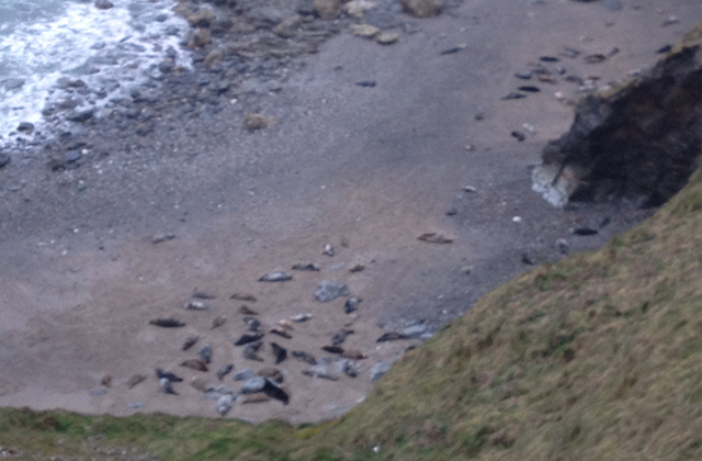 Forever Cornwall Seals Mutton Cove Gwithian