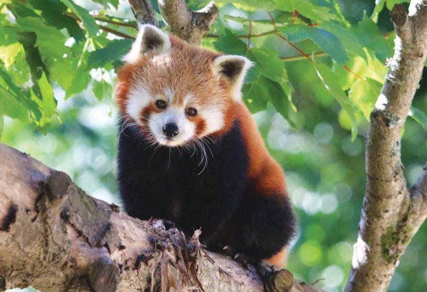 Red Panda At Paradise Park Cornwall